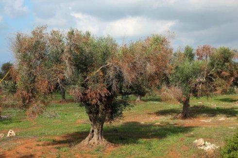 Befallene Olivenbäume